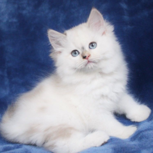 ragdoll kittens near me ragdoll cats for sale ragdoll kittens for sale ragdoll cat for sale